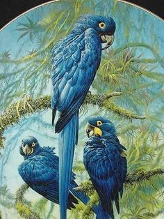 Limited Edition Wedgwood Hyacinth Macaw Plate