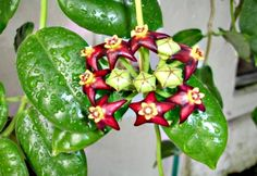 Hoya Ciliata is a lovely ruby red flower with yellow centers.