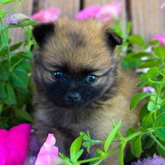 Sadie - puppie Pomeranian for sale at Grabill, Indiana Pomeranian Breeders, Pomeranian Puppy For Sale, Goldendoodle Puppy For Sale, Miniature Schnauzer Puppies, Schnauzer Puppy, Pomeranians, Cheap Puppies, Puppies For Sale, Pomeranian
