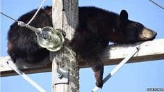 A bear has surprised utility workers in Canada by taking a snooze on an electricity pole.
