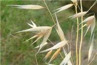 Slender oat (Avena barbata)