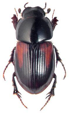 http://www.zin.ru/animalia/coleoptera/images/h_800/aphodius_edgardi_sols.jpg