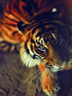 Tiger, here kitty, kitty. Animals And Pets, Baby Animals, Cute Animals, Wild Animals, Beautiful Cats, Animals Beautiful, Gorgeous Eyes, Hello Beautiful, Stunningly Beautiful