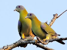 Yellow-footed green pigeon retains the state bird tag. Description from us.wow.com. I searched for this on bing.com/images