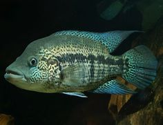 Parachromis, dovii