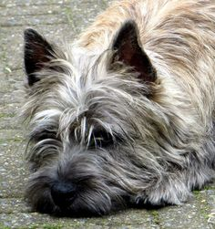 terrier haircuts cairn terrier dr oz puppys and so 1103