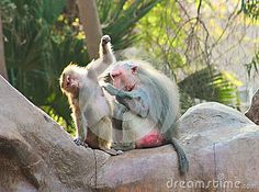Baboon Monkey chilling in the zoo #ape #monkey #apes #Africa #animal #photography #pic #photos #stock_photography #artistic #baboon #profile #portfolio #dreamstime