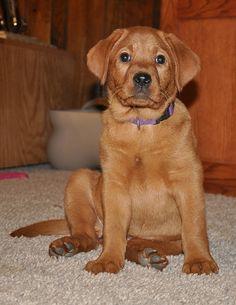 Red Fox Lab <3   cutest puppy ever :)