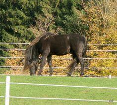 chocolate rocky mountain horses