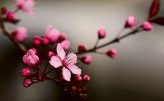 japanische sternzeichen zarte kirschblüte