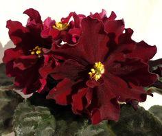ЛЕ-Вега Очень крупные п/м и махровые черно-вишнево красные звезды на крепких цветоносах темно-зеленая слегка удлиненная листва. Ровная розетка