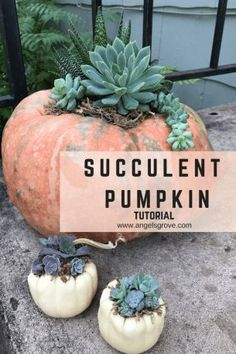 Fall is here and our pumpkins are ready to decorate our houses! This year we planted green and orange pumpkins and ended up with coral! Not that I am complaining because I love the color coral, just look at our logo! They are the perfect… Pumpkin Arrangements, Pumpkin Centerpieces, Succulent Arrangements, Diy Centerpieces, Cacti And Succulents, Planting Succulents, Quinceanera Centerpieces, Succulent Ideas, Grow Organic