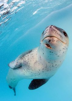 Leopard seal by Steve Jones. The leopard seal is the only seal that preys on other mammals. Their favorite prey is penguins on the Antarctic peninsula.
