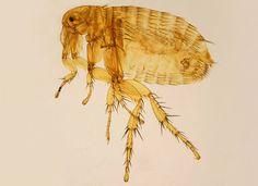 About the Oriental Rat Flea