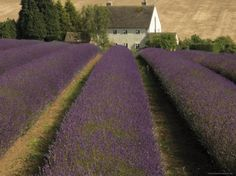 Snowshill Lavender Farm, Gloucestershire | David Hughes