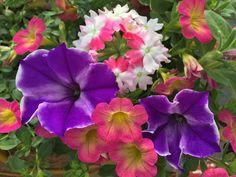 Glow Blue Stardust Petunia, Sweet Tart Calibrachoa, Pink Twister Verbena