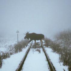 ITAP of a moose crossing a railway http://ift.tt/2je7L32