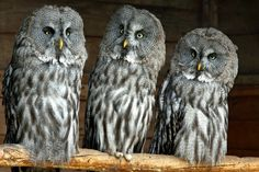 Birds Owls Glance Great Grey Owl Animals