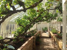 The directors Alitex greenhouse at Kew Gardens is opening on the 11th June. Just look at those fabulous vines! https://alitex.co.uk/