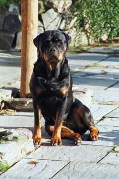 Living with a rottweiler means having a loyal, protective and sometimes fierce guard dog who also loves to cuddle on your lap and clown around your house. Intimidating and vigilant against strangers, with their people rottweilers can be big babies who snuggle, drool and fart with utter abandon.