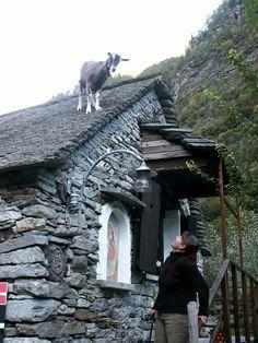 Goat on the roof, Valle Maggia, Switzerland Copyright: Pierre Heimann