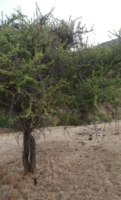 Typical chilean tree - Espino