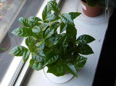 Coffee Arabica Plants In Windowsill