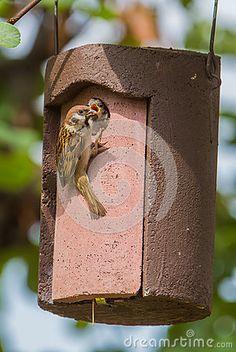 Tree Sparrow feeding chicken