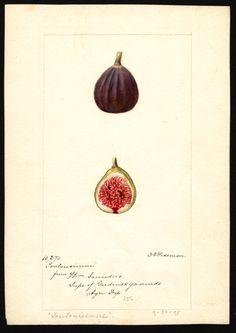 Deborah Griscom Passmore - figs