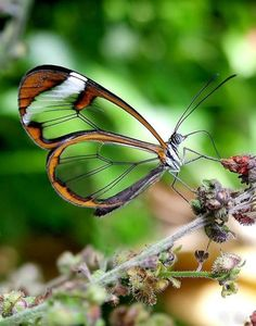 staceythinx:    Thanks to a great gallery by Twisted Sifter, I now know that the aptly named Glasswinged butterfly exists.