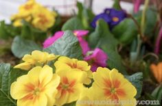 Flower Gardening Forgot to Plant Those Spring Bulbs? It's Not Too Late! :: Hometalk - But you better not delay! If you have a bunch of bulbs that you never got around to planting in the ground, you can still try a forcing method. Planting Bulbs In Spring, Garden Bulbs, Spring Bulbs, Garden Plants, House Plants, Planting Flowers, Flower Gardening, Spring Garden, Lawn And Garden