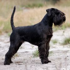 standard schnauzer with natural ears & tail