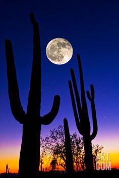 Moon over Saguaro Cactus (Carnegiea Gigantea), Tucson, Pima County, Arizona, USA Reproduction photo