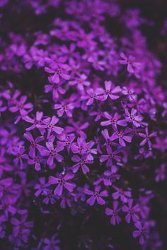 Phlox Flowers, Purple Flowers, Flowers Uk, Soft Purple, Fake Flowers, Flowers Nature, Exotic Flowers, Kolkata, Statue