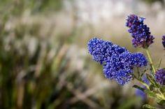 Die Säckelblume