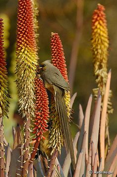 A Speckled Mousebird (Colius striatus) on Aloe petricola, native to Sandstone and Granite outcrops of the Lowveld (Limpopo Province and Mpumalanga), South Africa.  Winter, July 2008. https://www.flickr.com/photos/martin_heigan/2725073635/