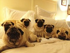 My future bed will look just like this #PugsEverywhere