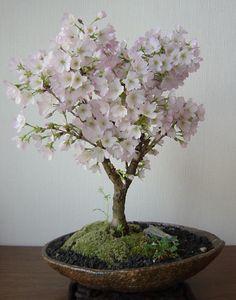 Sakura ( Cherry-blossoms ) : bonsai