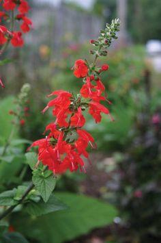 Salvia - Bonfire - Pinetree Garden Seeds - Flowers  - 1