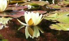 Reflection of the water lily in my pond - 2015