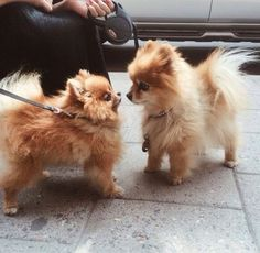 Little cute Pomeranian fluffball puppies having a mini stand off!