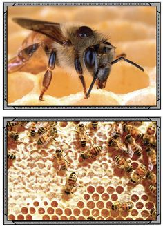 Insect activities: Honey Bee activities: 3- awesome bee photographs. (hives, stages of their life cycle, pollination, beekeepers, 3 kinds (drones, queen & workers). Use to help explain, on bulletin boards, or as descriptive writing prompts.