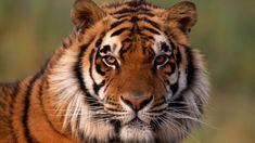 10-curiosidades-tigre-848x477x80xX.jpg (848×477)