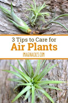Believe me when I say if I can keep air plants alive you can do it too. Read on for three tips to keep air plants alive. Believe me when I say if I can keep air plants alive you can do it too. Read on for three tips to keep air plants alive. Types Of Air Plants, Air Plants Care, All Plants, Plant Care, Cactus Plants, Garden Plants, House Plants, Moss Garden, Planting Succulents