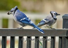 Blue Jays, Male & Female
