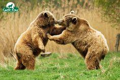 Sofia et Volga, ours brun d'Europe - Parc de Sainte-Croix