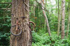 Bicycle Eaten by A Tree On Vashon Island, Washington