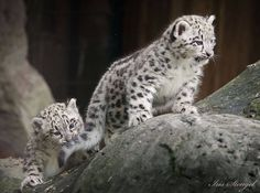 On May 4, Zoo Krefeld, in Germany, welcomed two new Snow Leopards. The two females were born to dad, Patan, and mom, Dari, and they can now be seen exploring their outdoor exhibit. Check out ZooBorns to learn more and see more! http://www.zooborns.com/zooborns/2015/07/snow-leopard-cubs-spotted-at-zoo-krefeld.html