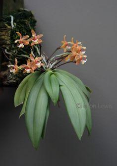 Grosourdya muscosa (Andaman Islands, Thailand, Malaysia and Sabah Borneo)