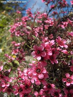 Tea Tree - Leptospermum scoparium